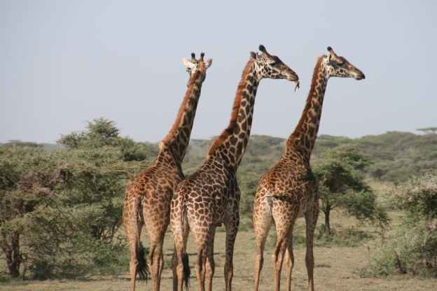a group of giraffes