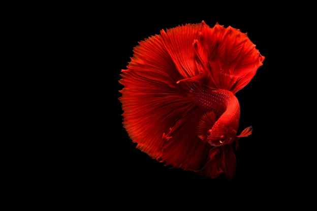 a red siamese fighting fish